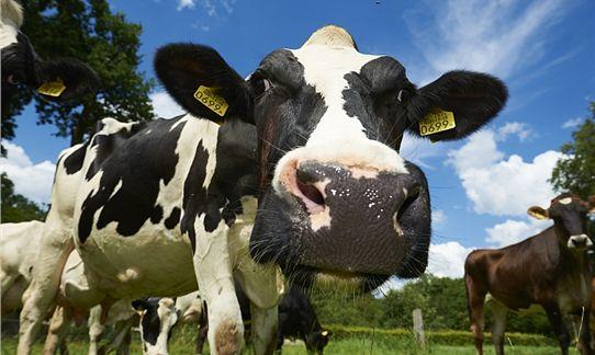[b]Boerderij[/b] - Een nieuwsgierige koe van boer Wibe