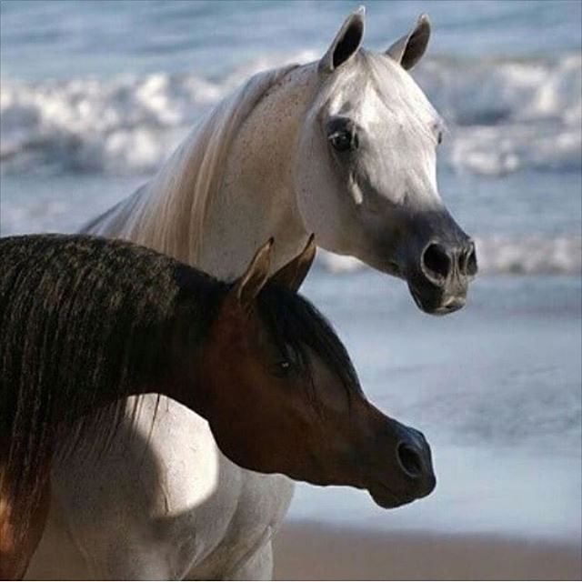 Arabian Horses On The Beach Beautiful Faces One White Grey And Chestnut