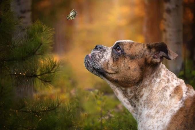 Wall Viewbug Com Pets French Bulldog Animals