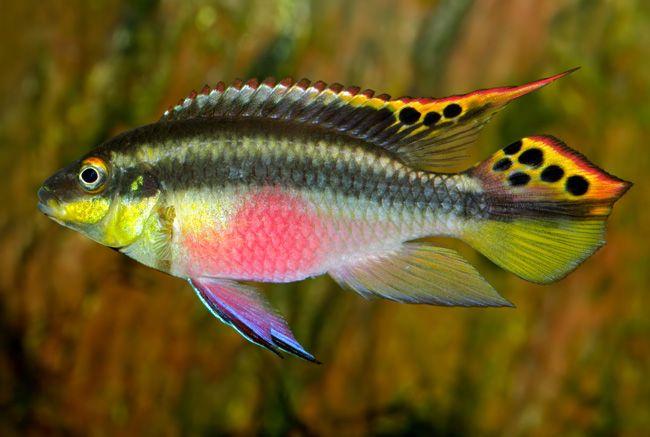 Kribensis Purple African Dwarf Cichlid Kribs Cichlid Cichlids Cichlid Aquarium Cichlid Fish