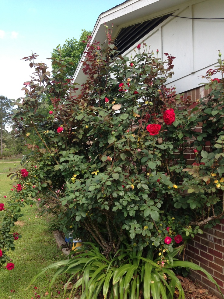 This Is My 15 Year Old Mr Lincoln Rose Bush We Cut It