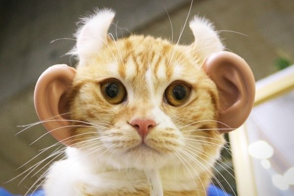 【検証】猫耳とは逆に『人の耳』を猫に付けたら可愛くなるのか!?(2/3) - オモトピア