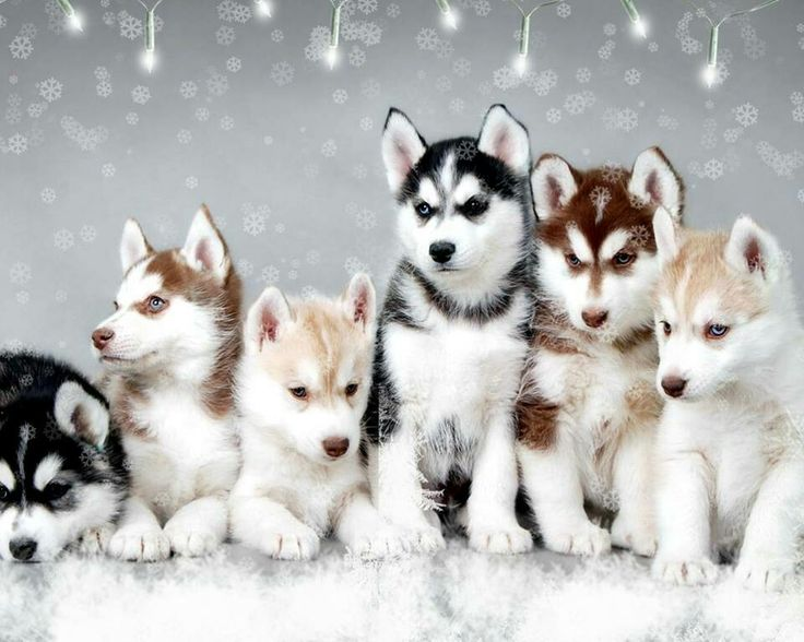 Husky puppies!!!! Ooh they're adorable