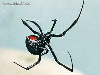 Aranha Viúva-Negra - ampulheta vermelha na barriga