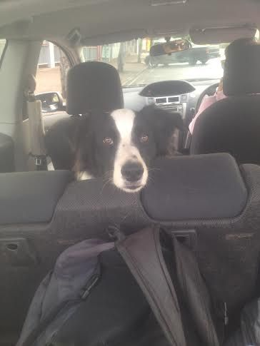 PADDY........BACK-SEAT DRIVER......RESTING! WHEW, WE MADE IT! dogsbigdayout.com.au