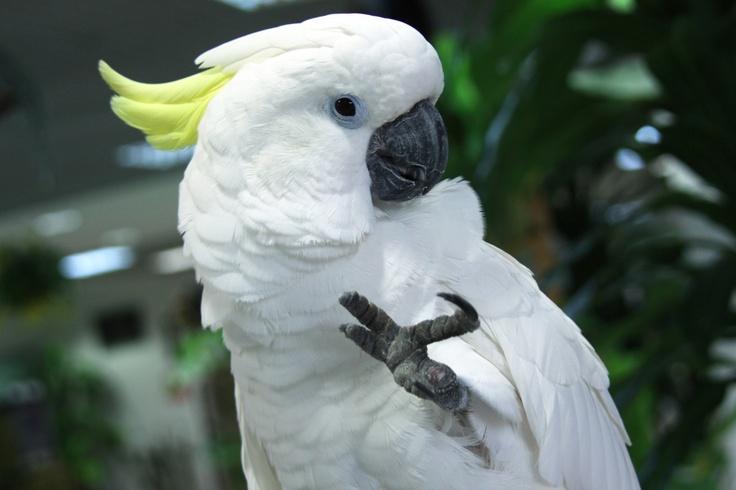 Cockatoo.