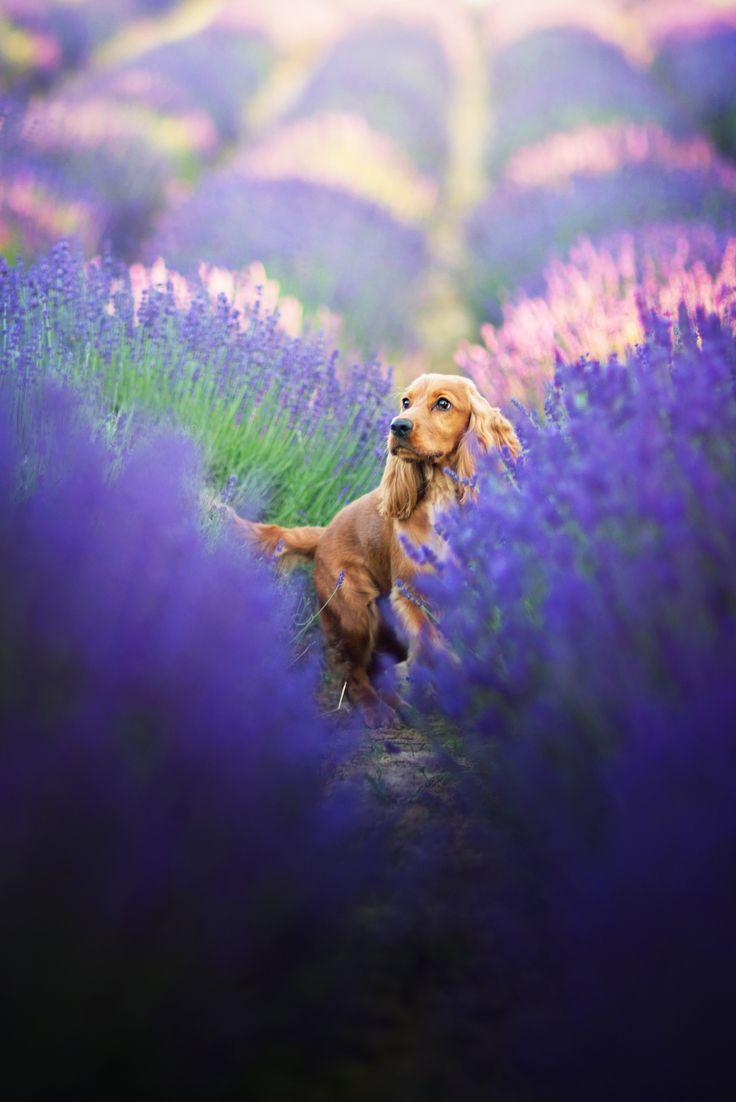 Cocker Spaniel in a lavender field by Iza Lyson
