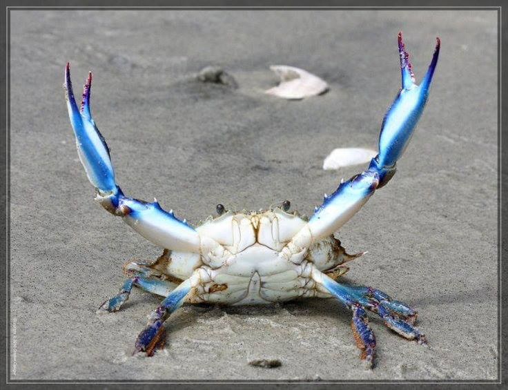 Chesapeake Bay Blue Crab.... Once you're hooked on Maryland Crabs, you're HOOKED!