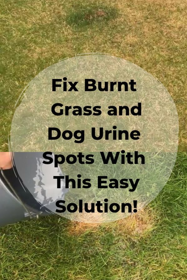 How To Fix Burnt Grass Dog Urine Spots With This Easy Solution In 2020 No Grass Backyard Dog Urine Lawn Repair