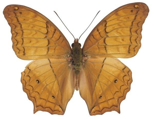 Beautiful Brown Moth Decal by WilsonGraphics, $3.30 USD