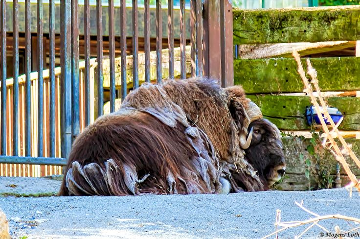 Musk ox is located in the shade