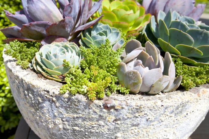 Kivikkokasvit ruukussa