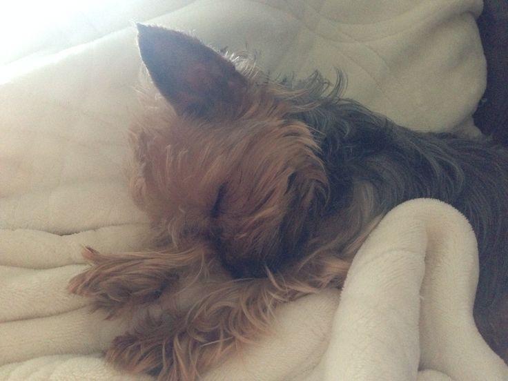 #yorkie #yorkshire #dog #puppy #chien #cuty