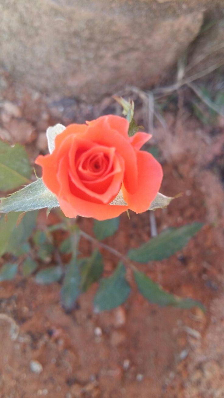 Mini rosa laranja