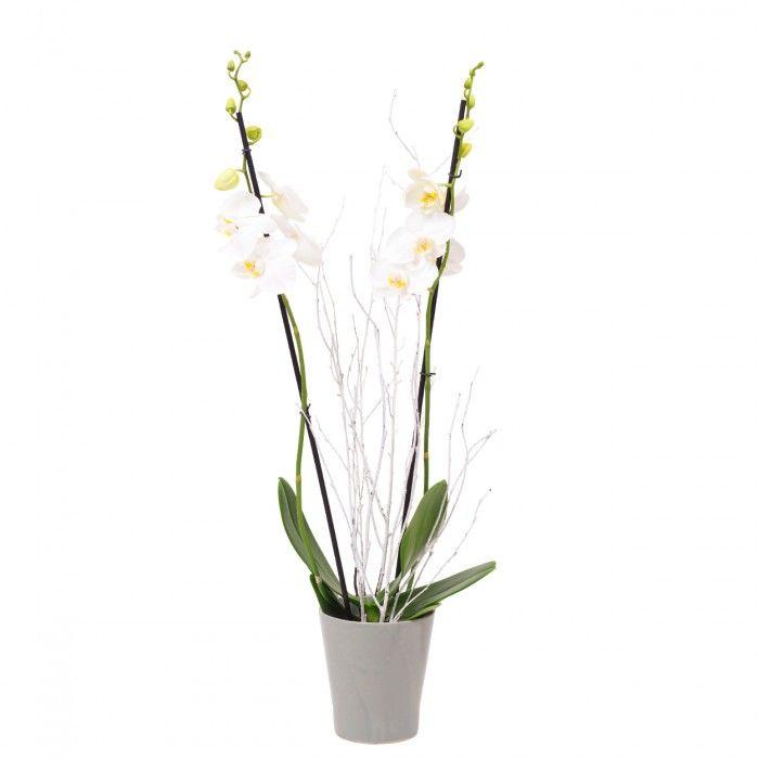 Planta Orquídea Phalaenopsis Blanca. La Phalaenopsis es una Orquídea compuesta por varias varas con flores. Enviar plantas como regalo a un ser querido es una magnífica opción.