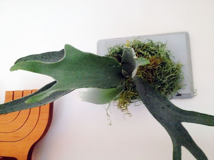 staghorn fern how to 30 best Staghorn Fern LOVE images on Pinterest  Deer horns