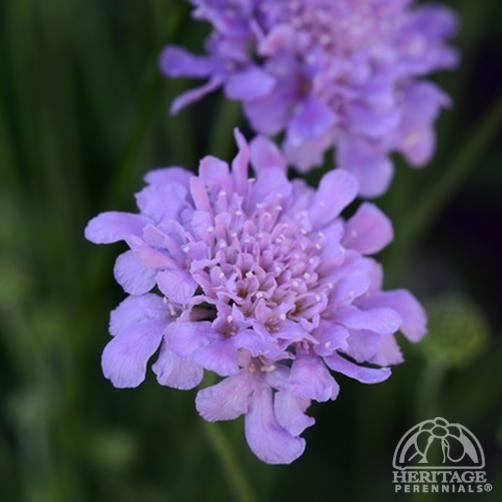 Scabiosa columbaria Flutter™ Deep Blue