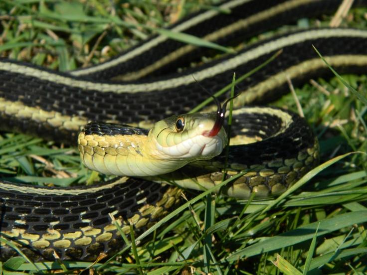 Garter snake in Kenora, Ontario, Canada