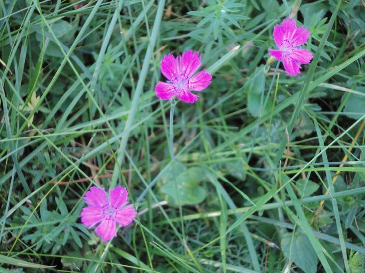 Ketoneilikka / Maiden pink (Dianthus deltoides) is getting pretty rare. Happy to have it on some spots in my yard.
