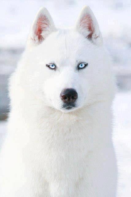 White Siberian Husky http://top10dogpictures.com/siberian-husky.html