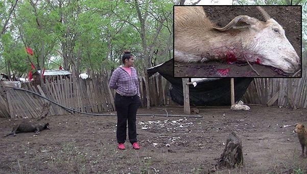 ¿Volvió el chupacabras? Hallan 40 animales muertos en Salta.  Un extraño atacante degolló a 40 cabras en un campo de esa provincia en un acto que puso en vilo a los productores de la localidad de Coronel Cornejo por lo inexplicable del caso. http://www.diariopopular.com.ar/c208020