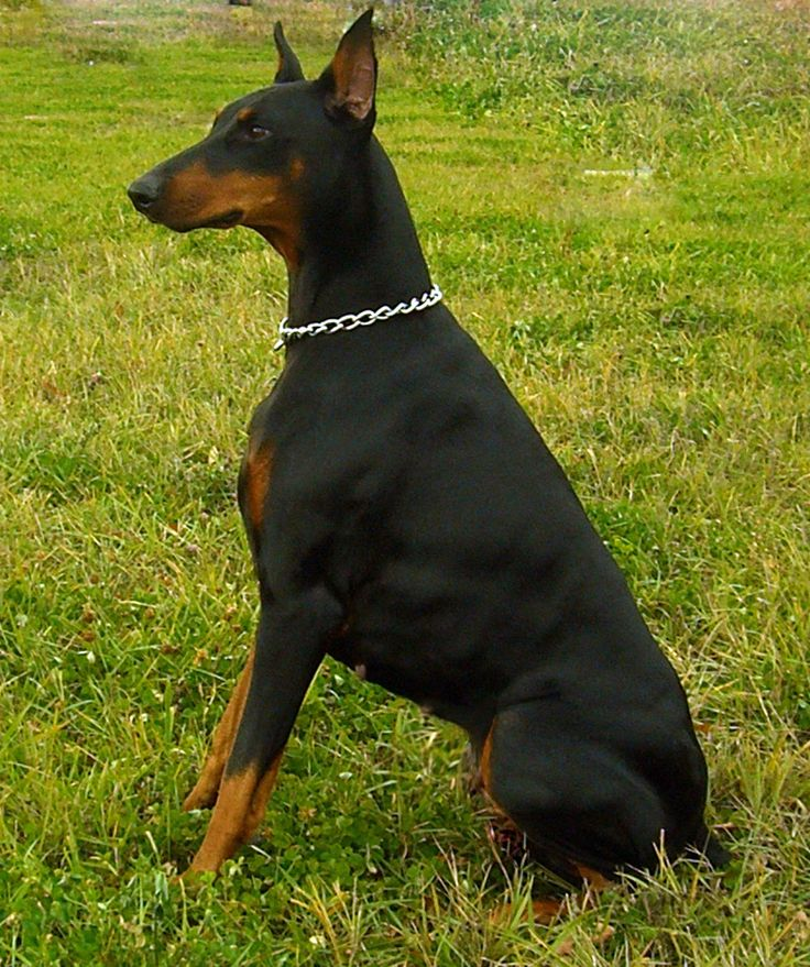 warlock doberman pinscher 18 - photo #2
