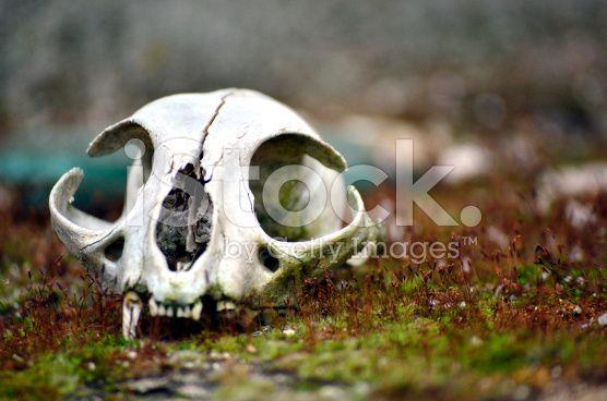 wild cat skull royalty-free stock photo