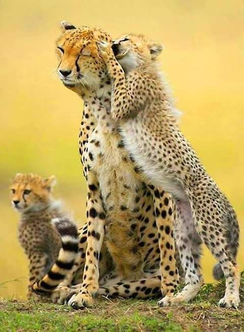 1170 Best Big Cats Snow Leopard And Cheetah Are My