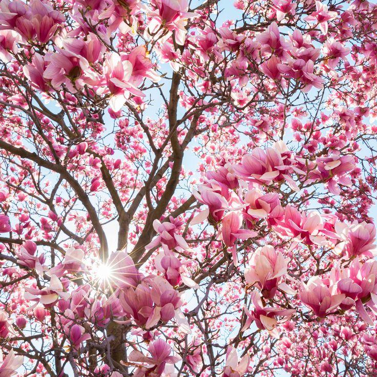 Halcyon Spring   Japanese Magnolias - Spring bloom of stunning Japanese Magnolias outside the Smithsonian Institution Building in Washington DC.