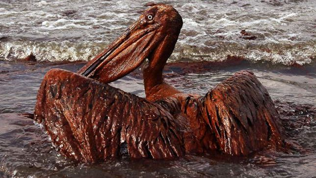 4 years after Gulf oil spill, wildlife still dying #news #oil #animals