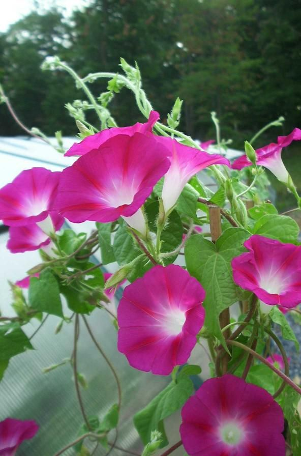 best  morning glories ideas only on   morning glory, Natural flower