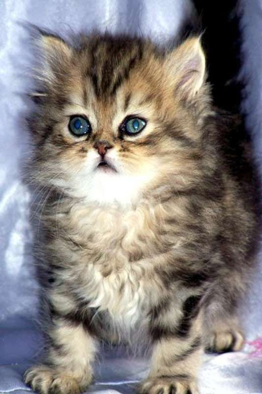 cost of maine coon cat