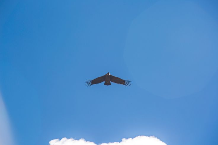 Condor flying above Soray Pampa @experiencemlp