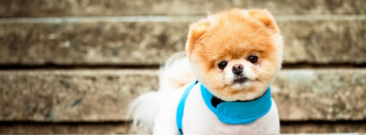 Boo the cutest dog facebook covers | Boo the cutest dog hd fb cover photos | Boo the cutest dog covers for timeline profile