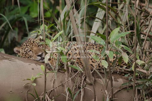Jaguar Chillaxing