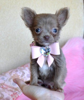 teacup chihuahua puppy: Teacup Chihuahua Puppies, Stuff, Small Dogs, Pets, Teacups Puppies, Bows, Teacups Chihuahua Puppies, Little Princesses, Adorable Animal