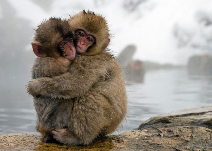 Baby Japanese Snow Monkeys, huddled by their thermal bath....