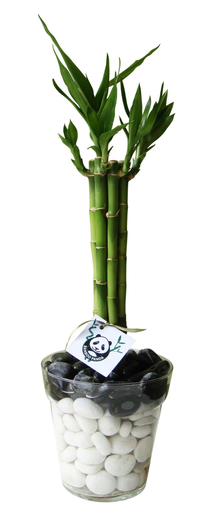 17 best ideas about lucky bamboo on pinterest lucky bamboo plants lucky plant and bamboo plants. Black Bedroom Furniture Sets. Home Design Ideas
