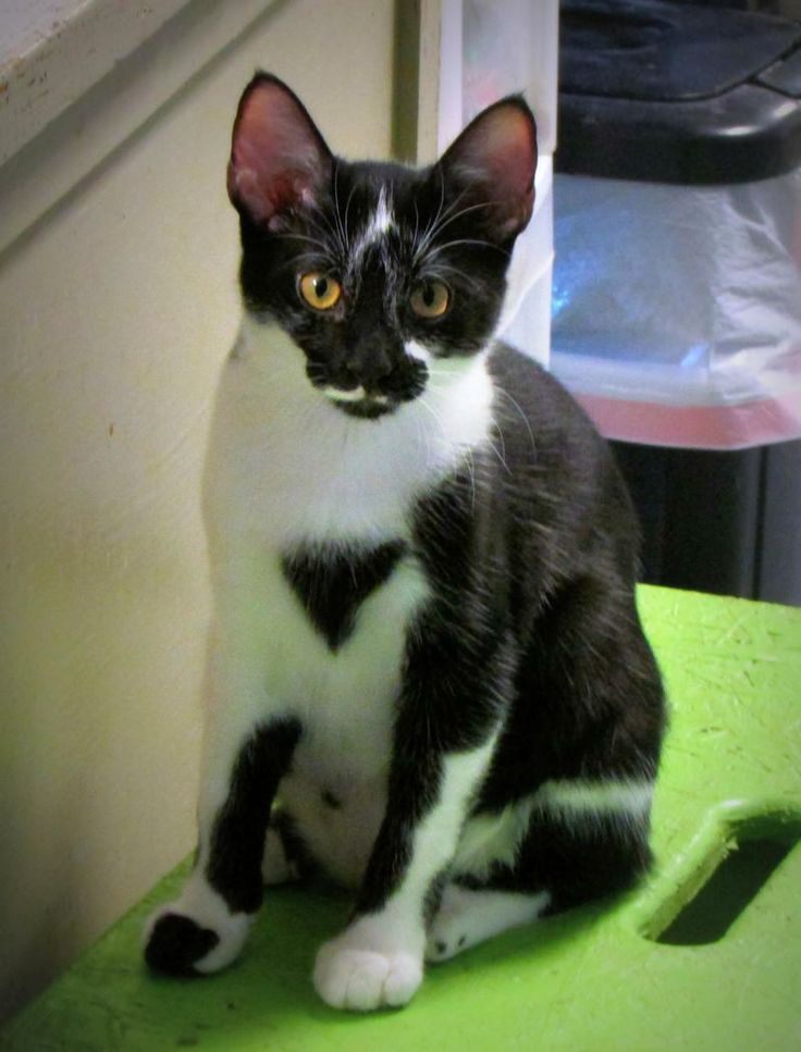 This black and white kitty is named Blake.  He came with his mom and sister, and loves playing with both of them.  Blake will chase anything that moves and is a very curious boy who likes to climb.  He doesn't stay still long, so getting pictures of...
