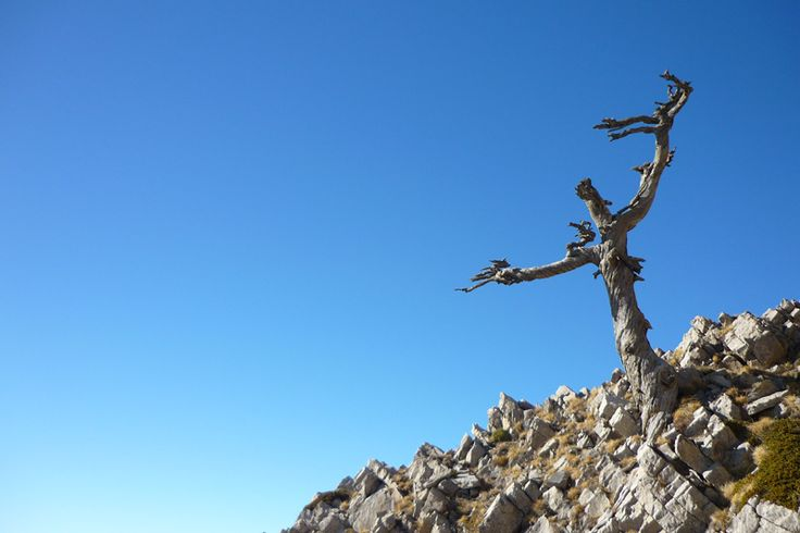 Esemplari di pino loricato del Parco Nazionale del Pollino