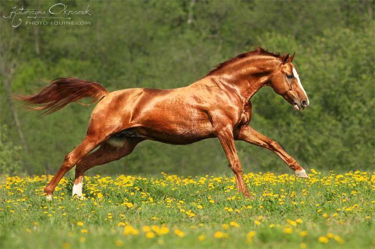 Running chestnut horse...