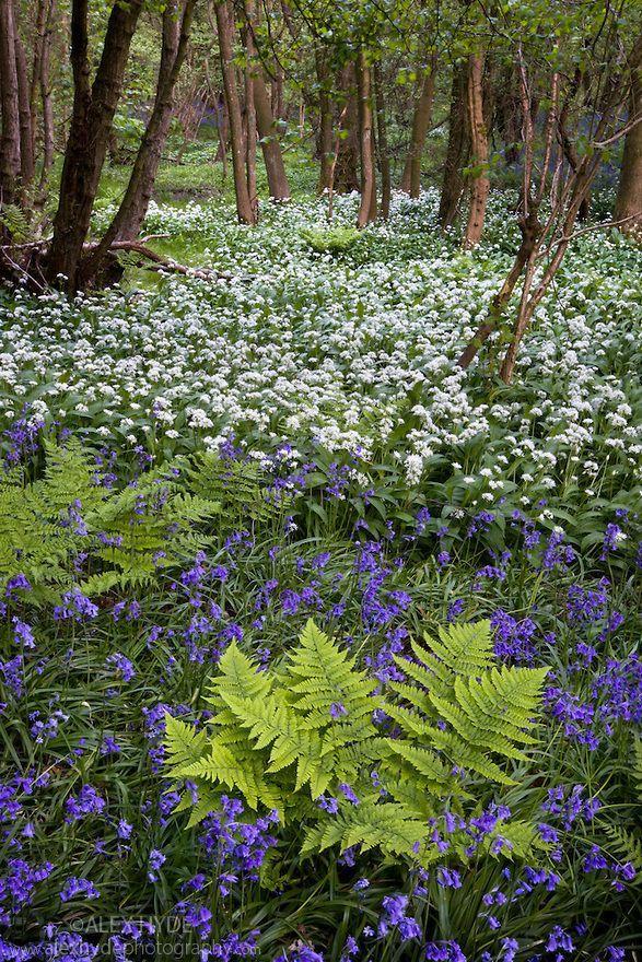 Wild Garlic Ramsons Allium Ursinum And Bluebells Endymion Nonscriptus Flowering In Deciduous Woodland P Woodland Plants Woodland Flowers Woodland Garden