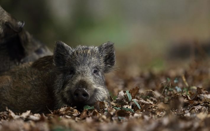 Download wallpapers wild boar, forest, trees, wild animals, forest animals