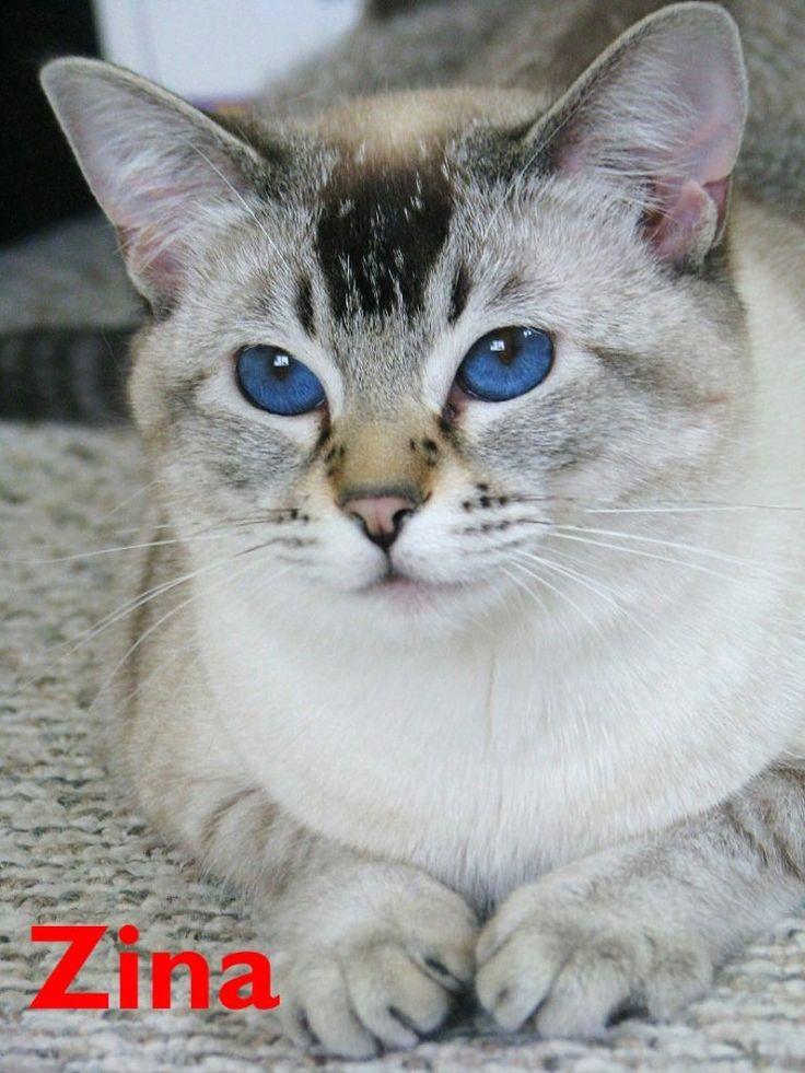 Seal Lynx point   Cats..Siamese   Pinterest