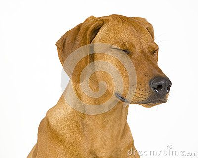 Headshoot of a beautiful and sad dog isolated on white. The female Rhodesian ridgeback hound is 5 month old. The dog has its eyes closed.