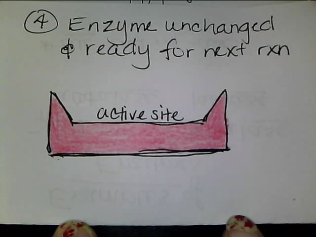 Enzymes   Enzymes Definition  Characteristics of Enzymes   Biology     aploon Diagrams to show the induced fit hypothesis of enzyme action