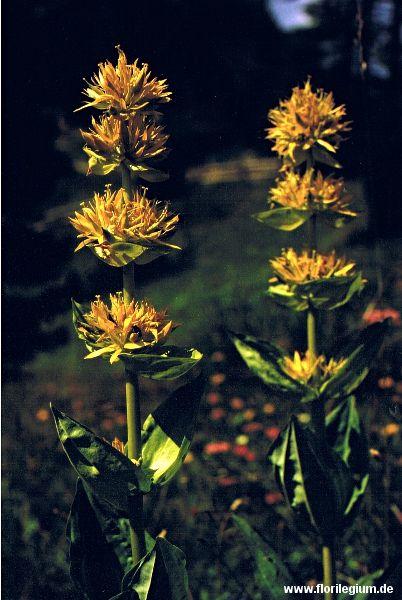 Gelber #Enzian (#Gentiana lutea) http://www.florilegium.de/blog/pflanzen/heimische-wildpflanzen-und-wildkraeuter/gelber-enzian-gentiana-lutea.html