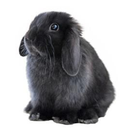 """Looks like my bunny! """"The Holland Lop rabbit was developed in the Netherlands in 1949 by crossing the French Lop with Netherland Dwarf."""""""