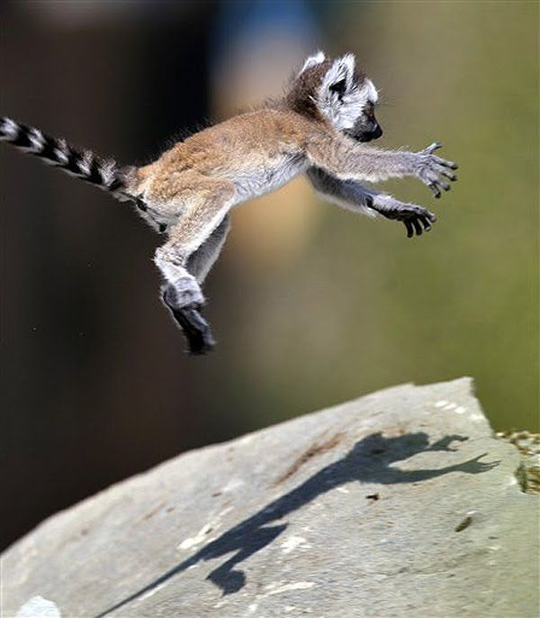 Baby Lemur!!