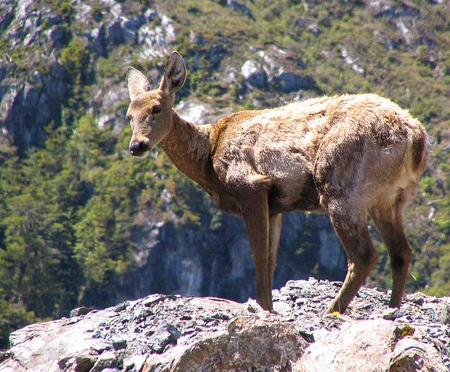 Some of the things in Chile that you hear are, native animals and other animals. This is the National Animal of Chile.